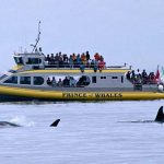 orcas and whale watching boat