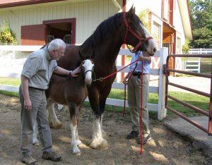 Robert Scheer pats Clydesdale horses